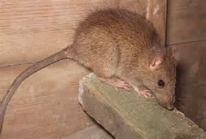 Roof Rats Roof Rat Pest Robert S Termite Pest Inc