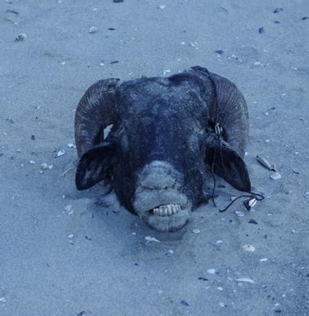 testa d ariete testa d ariete sulla spiaggia di torregaveta