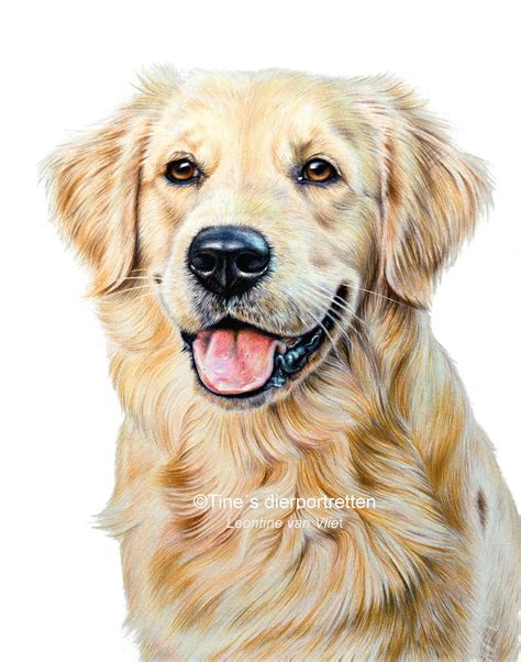 drawing of a golden retriever golden retriever pencil drawing image mag