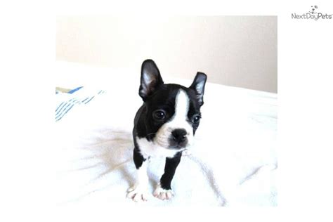 boston terrier puppies for sale in california boston terrier puppies san diego puppy breeds picture