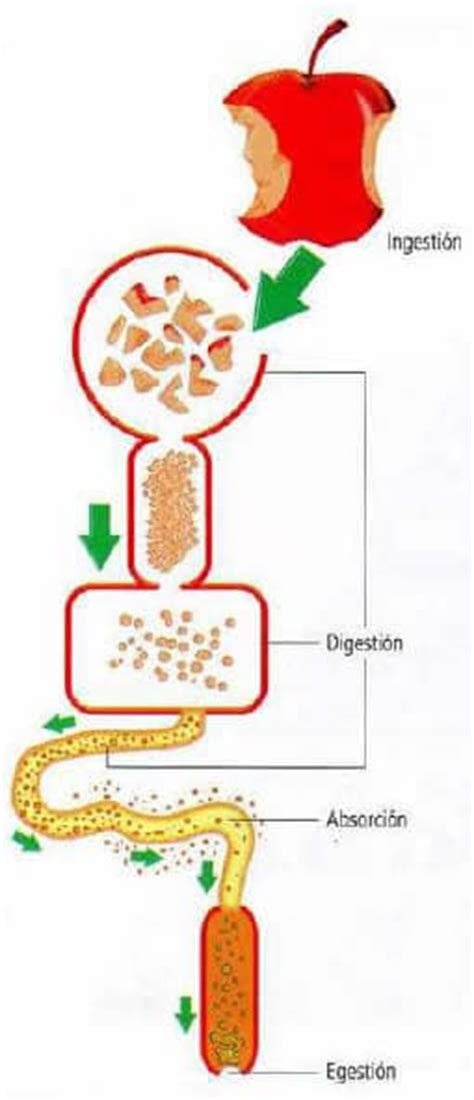digestivo images aparato que funcion cumple el sistema picture partes del sistema digestivo 187 blog de biolog 237 a