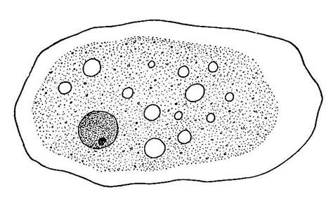 labelled diagram of entamoeba histolytica ohapbio12 licensed for non commercial use only entamoeba