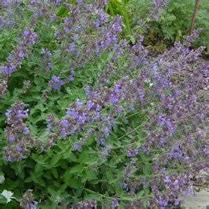 nepeta racemosa catmint buy herb plants