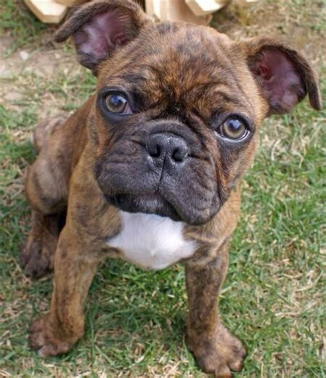 boxer pug mix for sale 17 best images about puppy on shorthair puppys and teddy bears