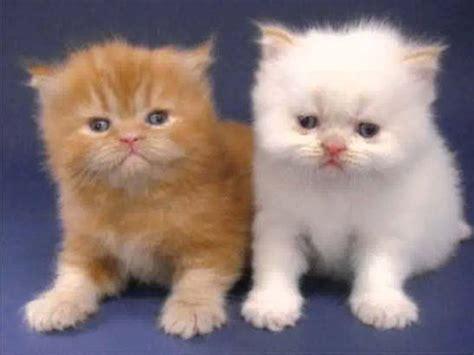 Untuk Kucing Dan Harga Harga Kucing Anggora Tip Memastikan Kualitas Sebelum Membeli