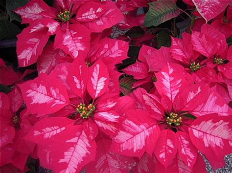 top 28 different types of poinsettias there s more than one way to recycle that christmas