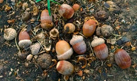 are acorns bad for dogs can acorns and conkers make your sick are acorns bad for pets nature