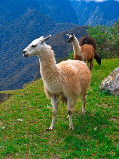 imagenes animal llama machu picchu llamas descargar fotos gratis