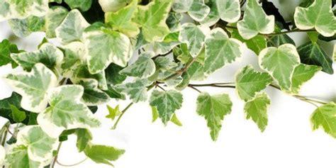 piante per terrazzo in pieno sole i ricanti adatti al pieno sole e quelli sempre all
