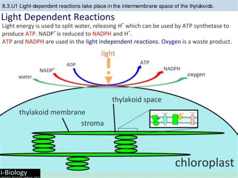 Where Does Light Dependent Reaction Take Place by Bioknowledgy 8 3 Photosynthesis Ahl
