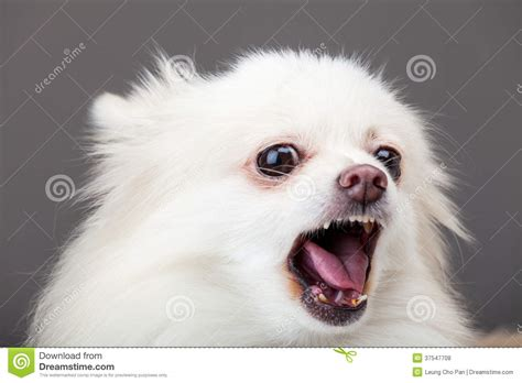pomeranian barking white pomeranian barking royalty free stock photos image 37547708