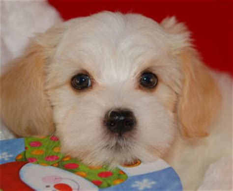 royal flush havanese royal flush havanese complaints about safety at thanksgiving leads to tips for a