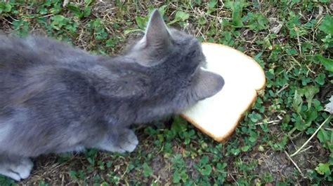 can seagulls eat bread can cats eat bread