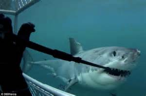 gopro shark great white shark destroys 12 000 worth of gopro