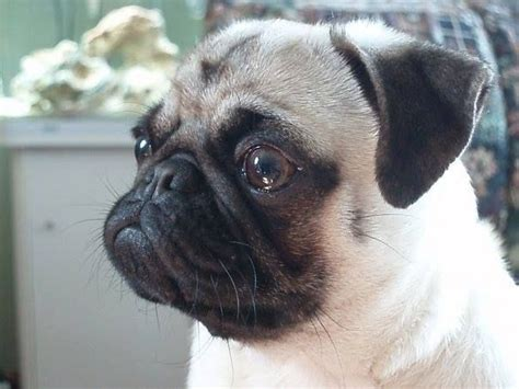 chines pug pug must dogs especially pugs