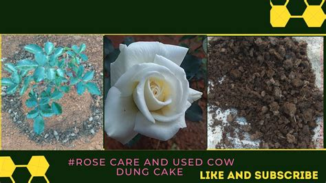 rose care   care rose plants   home garden