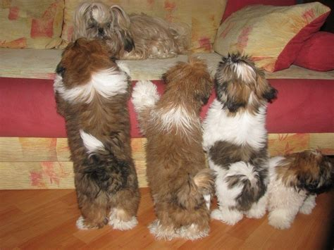 shih tzu bed 12 realities new shih tzu owners must accept