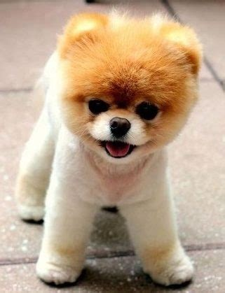 standing pomeranian breeds teddy puppies dogs