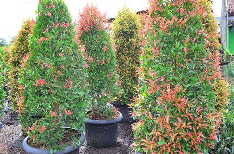 Bonsai Pohon Pucuk Merah mekar jaya flora pucuk merah