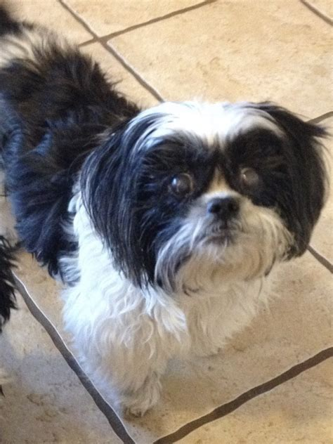 shih tzu and precious paws rescue pets for adoption at shih tzu and precious paws rescue in collierville tn petfinder