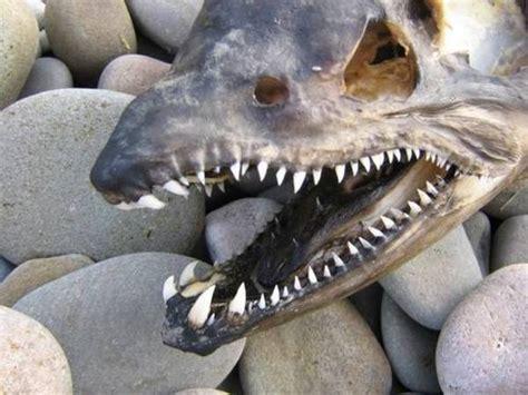 bucks cing and fishing image gallery salmon teeth