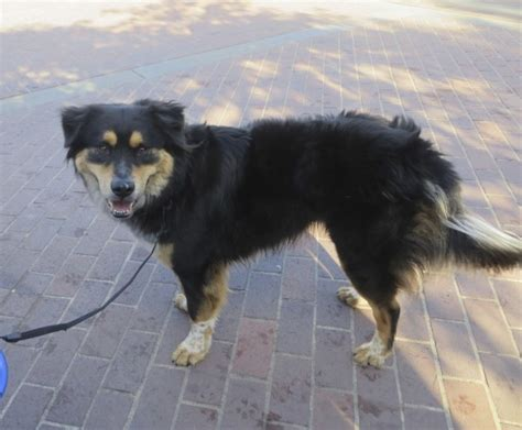 rottweiler shiba inu mix of the day jake the australian shepherd rottweiler mix the dogs of san