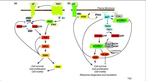 The Ras ERK and PI3K mTOR pathways: cross talk and