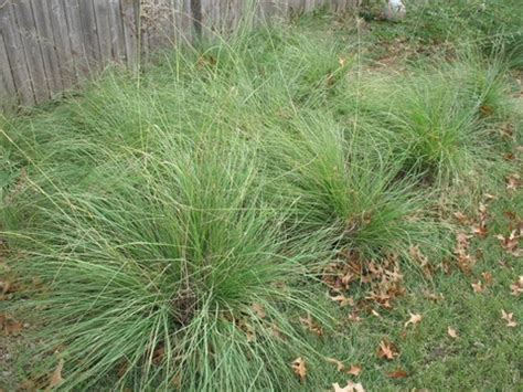images of love grass weeping lovegrass seed 50 lbs