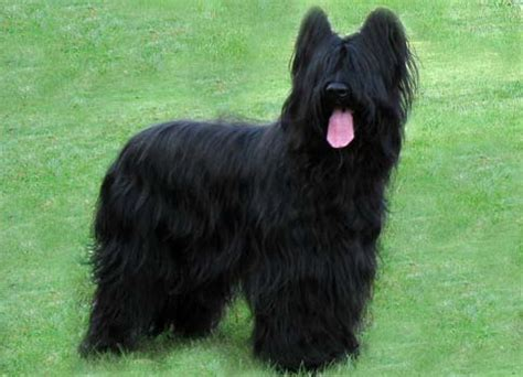 Briard Shedding by Briard History Personality Appearance Health And Pictures
