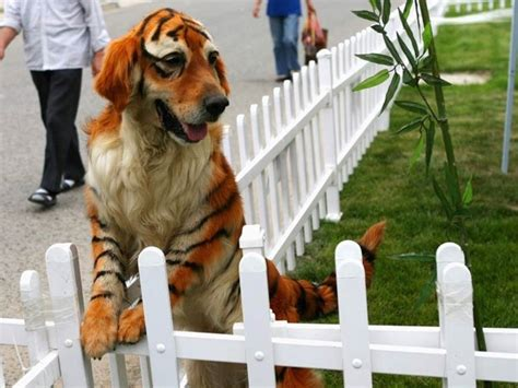 golden retriever tiger costume a golden retriever dyed to look like a tiger plays at the dahe pet civilization park