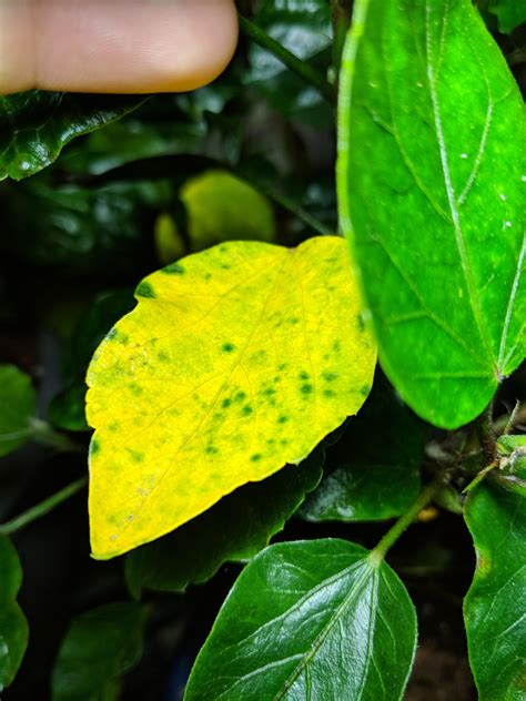 indoor hibiscus leaves turning yellow gardening garden