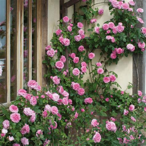 Bibit Bunga Mawar Rambat jual tanaman pink climbing mawar rambat pink