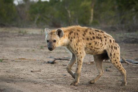 is a hyena a mythbusters hyena edition londolozi