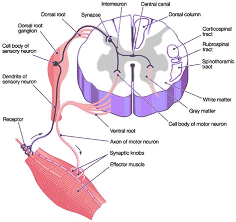 cross sectional view of the spinal cord yvonnes neuropsychology pictures