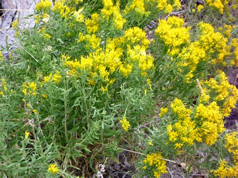 Flowering Shrubs Texas - many flowers pictures of solidago canadensis asteraceae wildflowers of west usa