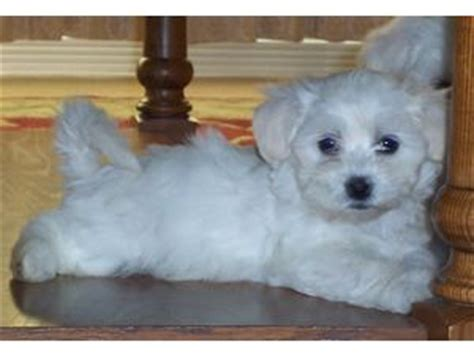 coton de tulear puppies for sale florida coton de tulear puppies in utah
