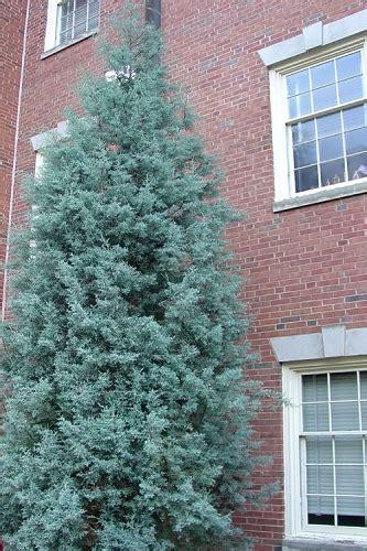 decorated blue arizona cypress buy carolina sapphire arizona cypress for sale from wilson bros gardens
