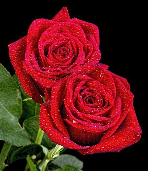 imagenes de rosas las mas hermosas banco de im 193 genes las fotos m 225 s hermosas de rosas de