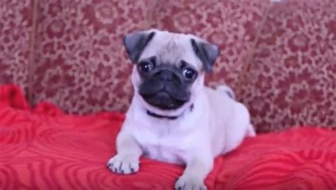 do pugs bark 5 month pug puppy barks how his baby bark sounds i ve never heard