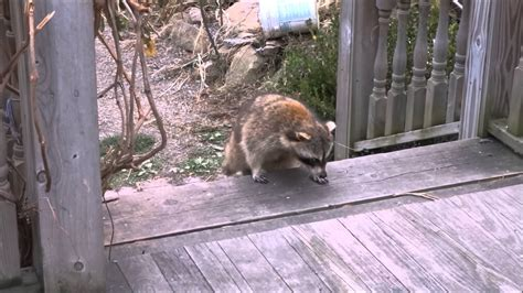 blind raccoon and his guard cat youtube