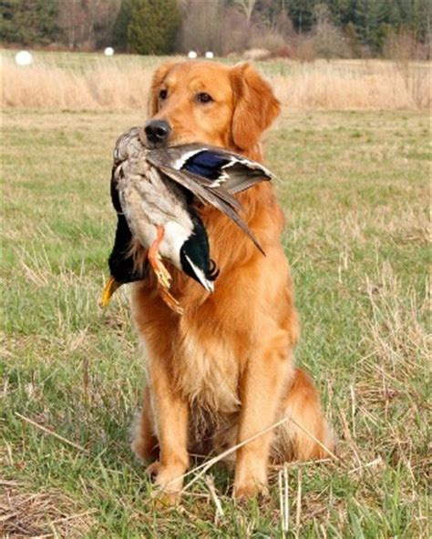 what breed is a golden retriever golden retriever breed information history health pictures and more