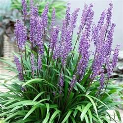 Fragrant House Plants - liriope muscari big blue lily turf pack of three plants