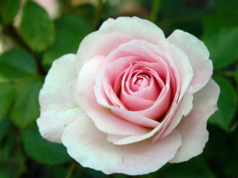 Roses Are Blush Roses Are Bashful by A For Every Garden Vanderwees Home Garden