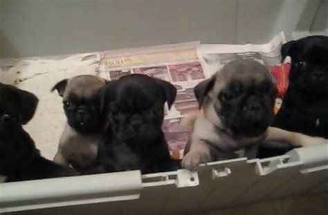 pug freaking out pug puppies are hanging out in a pen when a human says hi cutest puppy freak