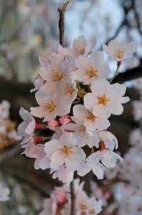 blossom cherry picture sakura flowers japanese cherry blossoms flowers