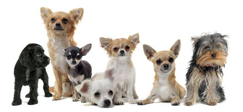 Small Breed Dog Care   Animal Hospital   Montgomery County