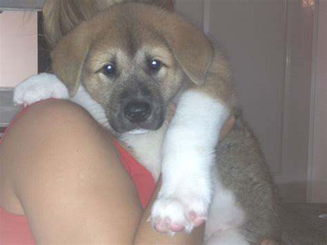puppies for sale in colorado lovely akita puppies for sale doncaster south pets4homes