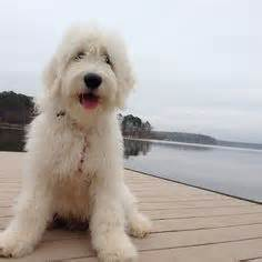 goldendoodle central pa palmer miniature goldendoodle puppies for sale in pa