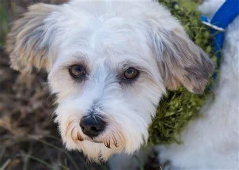 havanese rescue denver 17 best images about adopt me on shetland sheepdog minnesota and