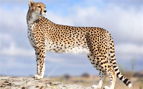 cheetah and wallpapers of cheetah wallpaper cave